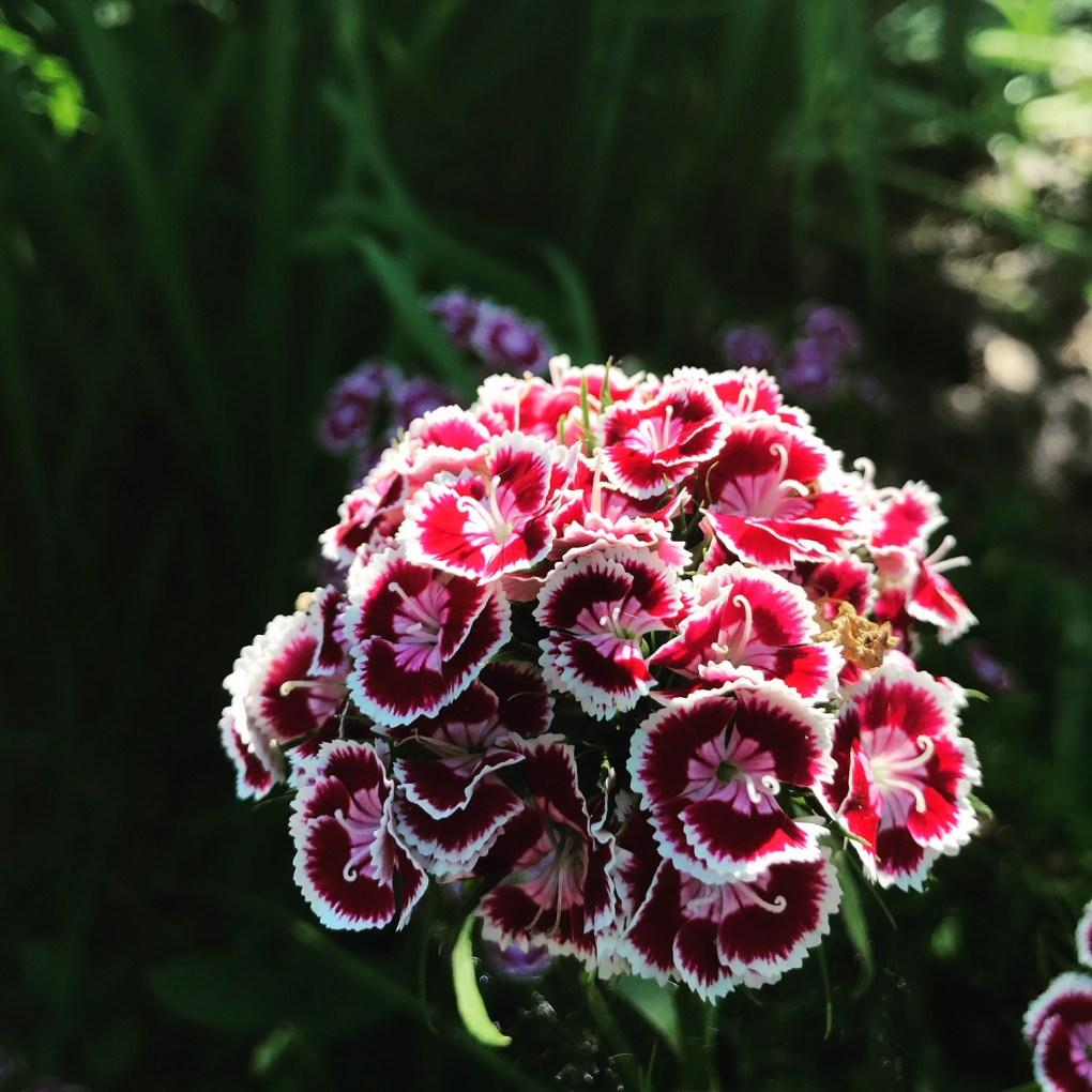 img_1540 Jak pozyskać nasiona kwiatów?