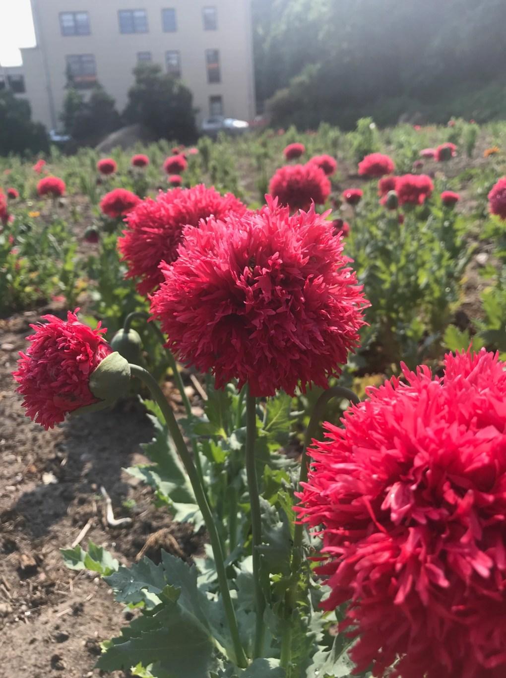 img_1555 Jak pozyskać nasiona kwiatów?