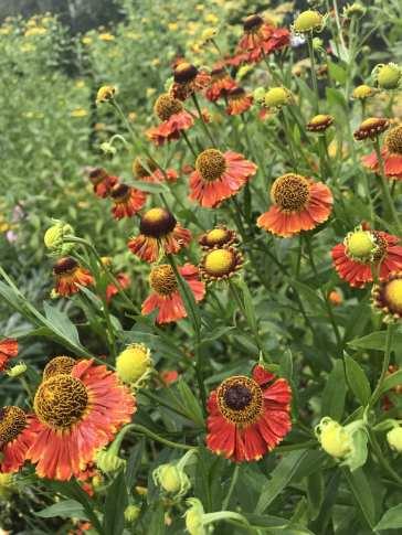 img_2396 Jak pozyskać nasiona kwiatów?