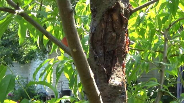 img_2506 Rak bakteryjny u drzewek owocowych - nie lekceważ!