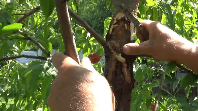 img_2508 Rak bakteryjny udrzewek owocowych - nielekceważ!