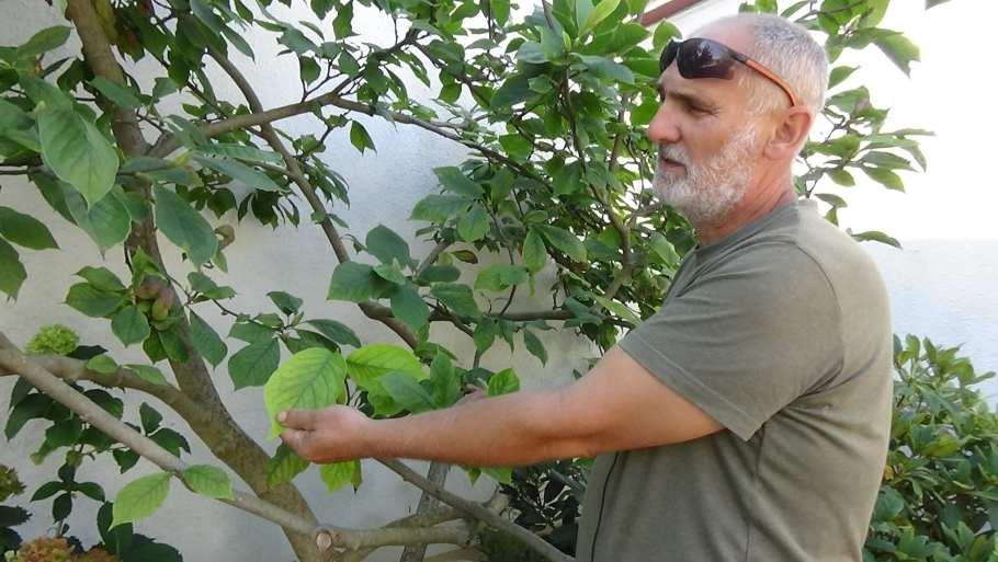 DSC02671 Suche igły i suche liście u krzewów, czy to objaw choroby?