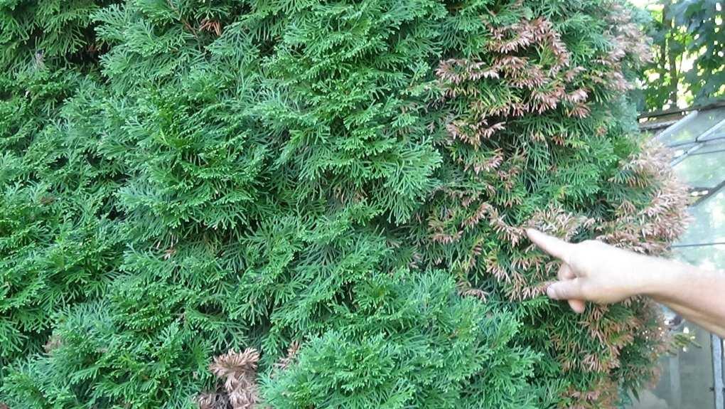 DSC02674 Suche igły i suche liście u krzewów, czy to objaw choroby?