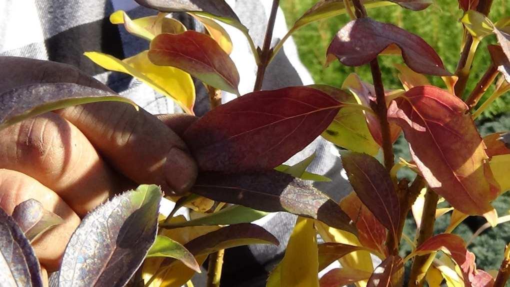 DSC02816 Te rośliny nadają się na żywopłoty