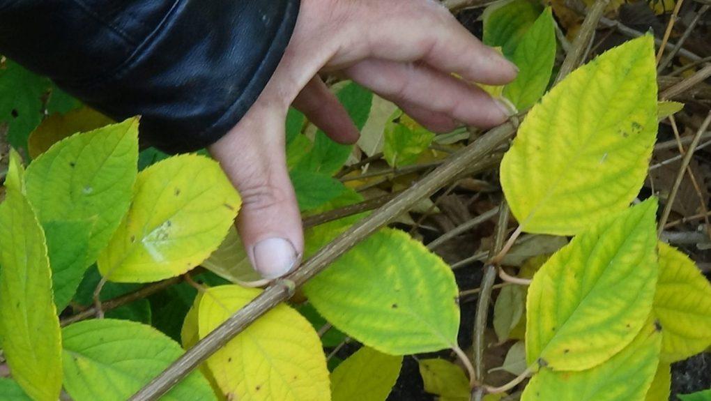 DSC02915-1024x577 Jakie gatunki hortensji masz w ogrodzie