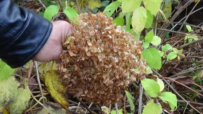 DSC02922-1024x577 Jakie gatunki hortensji masz w ogrodzie