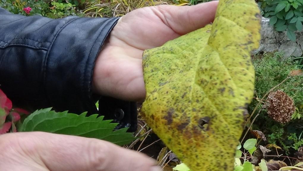 DSC02926-1024x577 Jakie gatunki hortensji masz w ogrodzie