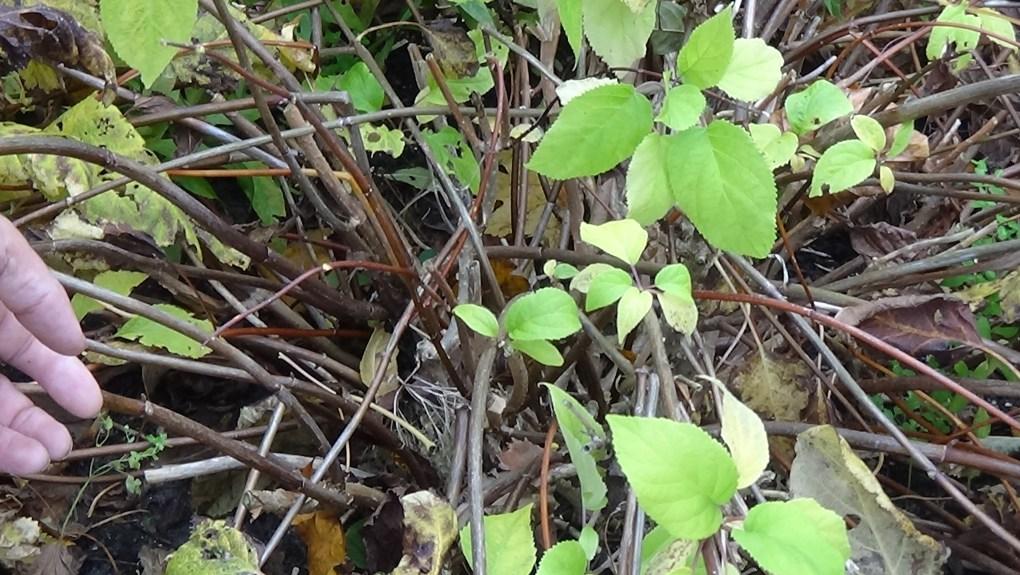 DSC02932-1024x577 Jakie gatunki hortensji masz wogrodzie