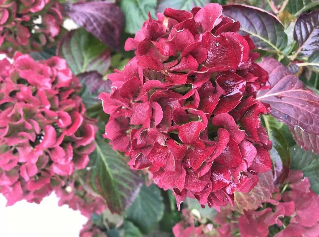 Płatki kwiatu hortensji ogrodowej są duże i mają piękny bordowy kolor.