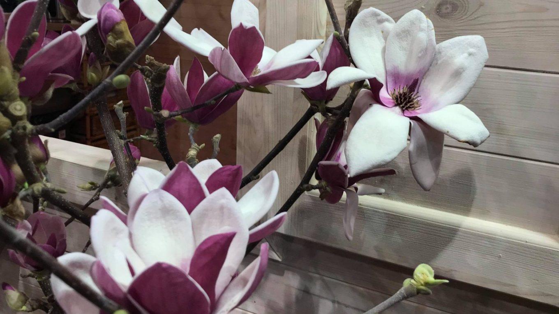 Magnolia nie lubi radykalnego cięcia. Tniemy, gdy jest to już konieczne