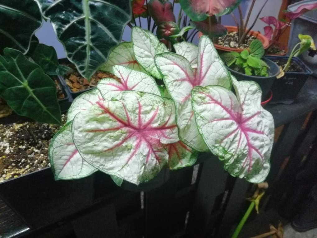 caladium-fiesta-1024x768 CzywPolsce da się uprawiać rośliny egzotyczne?