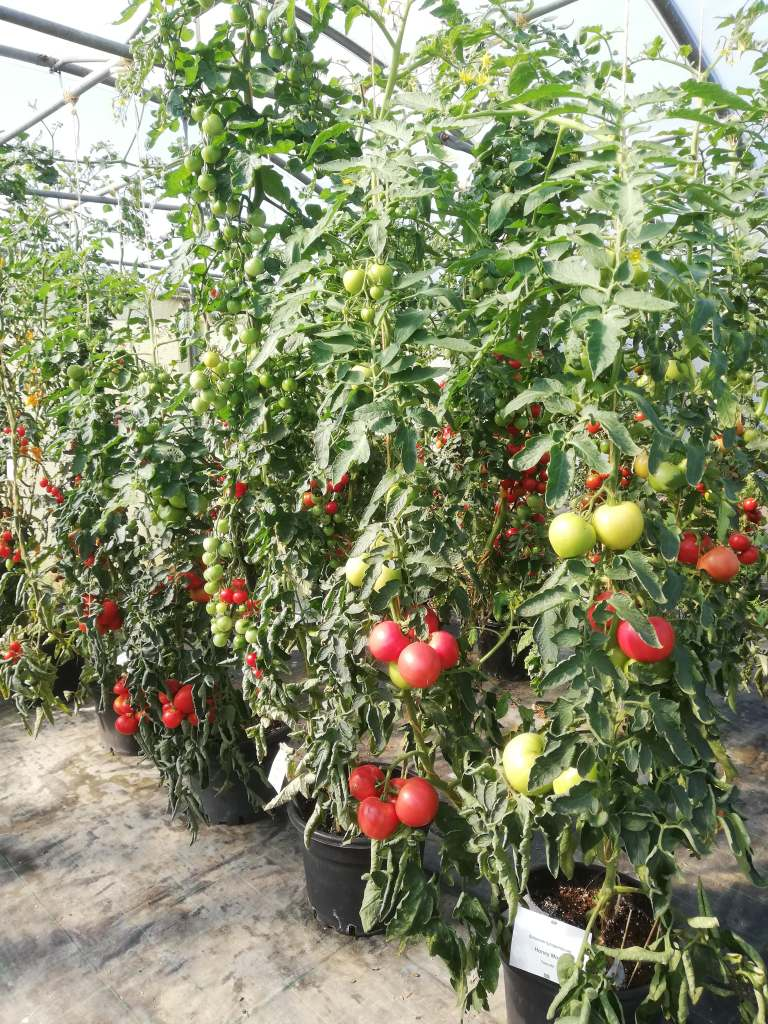 pomidory-f1-768x1024 Co tosą nasiona F1?