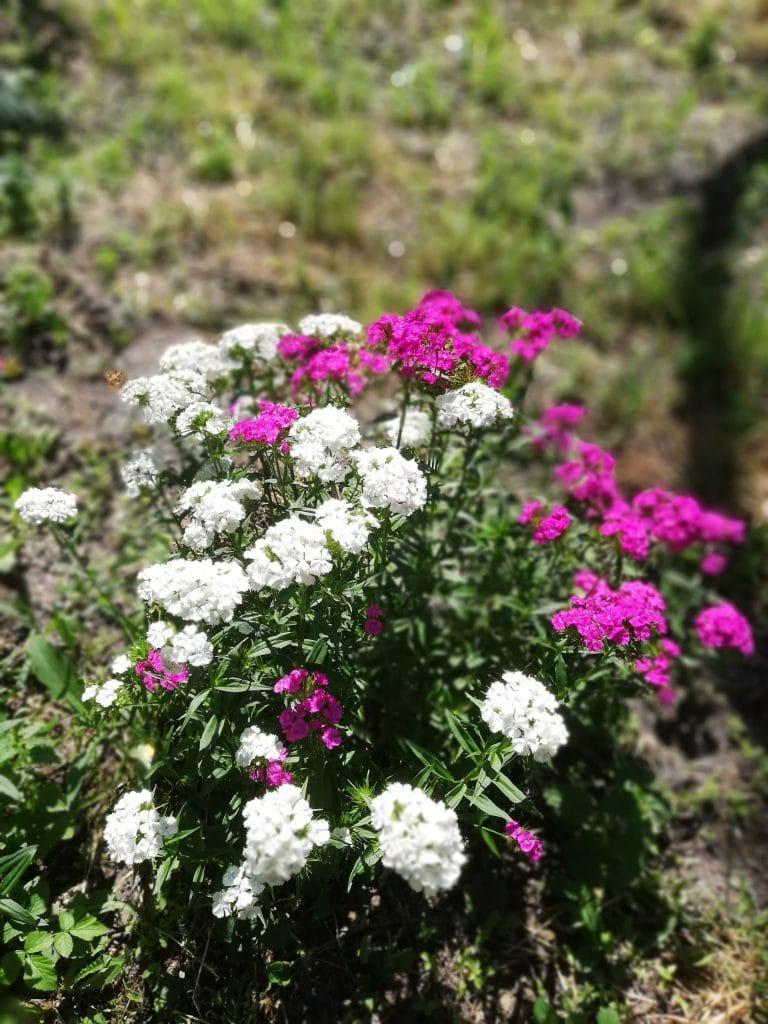 Jak Siac Kwiaty Jednoroczne Zielone Pogotowie Blog