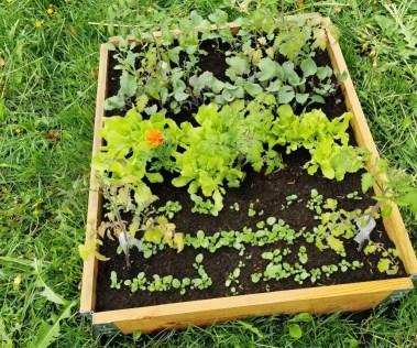 aksamitka-na-grzadce Sposoby na nicienie i szkodniki glebowe