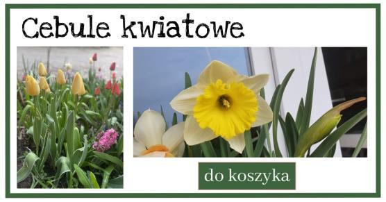 Cebule-kwiatowe-1-1024x538 Jak samemu zrobić sadzonki róż