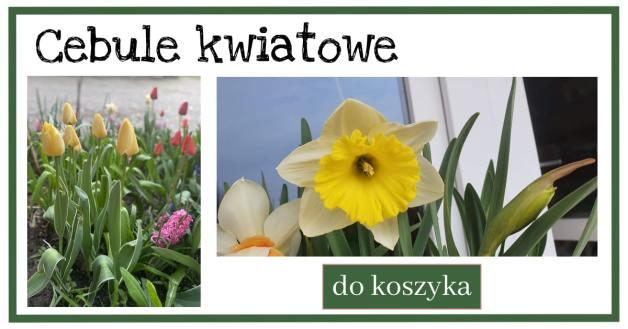 Cebule-kwiatowe-1-1024x538 Przesadzanie, rozsadzanie, sadzenie jesienne - Zielone Porady 43