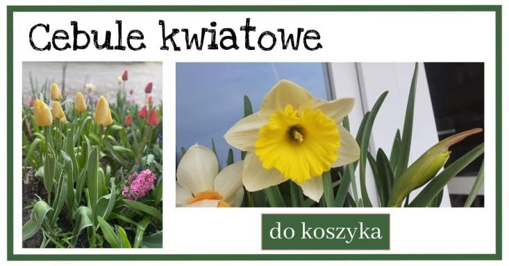 Cebule-kwiatowe-1-1024x538 10 kwiatów cebulowych, które zakwitną najszybciej