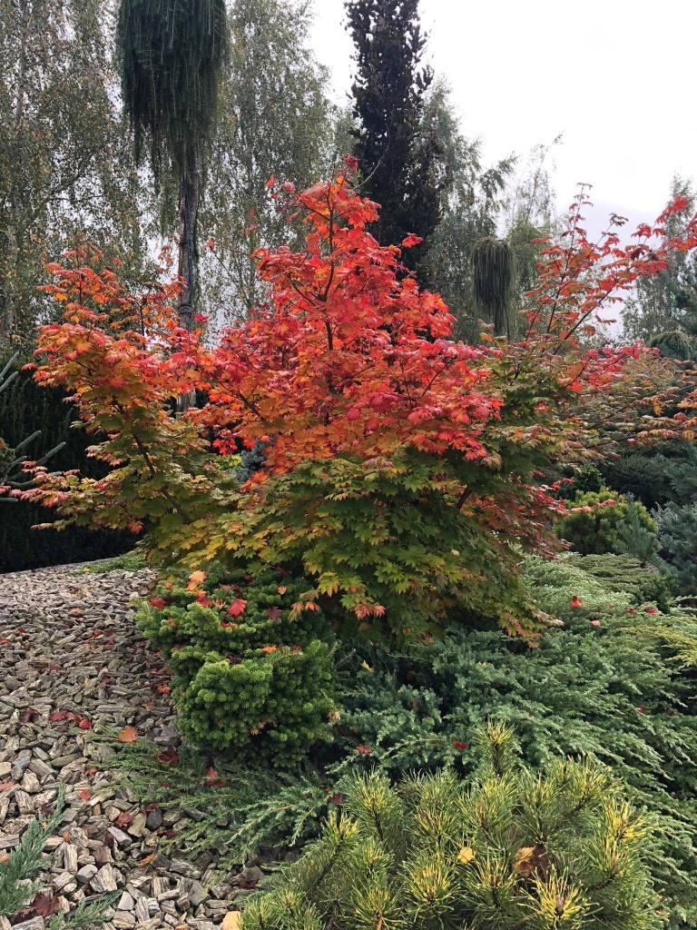 klon-palmowy-2-768x1024 Kolorowy ogród jesienią