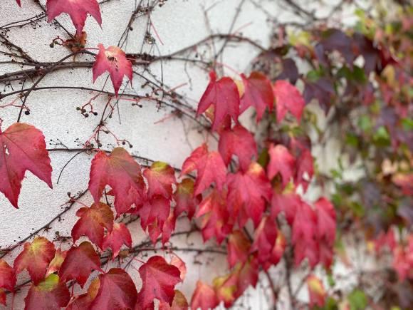 winobluszcz-1-1024x768 Kolorowy ogród jesienią