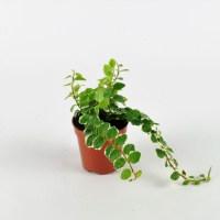 Fikus pnący 'Variegata' (Ficus pumila)