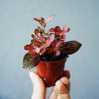 Fitonia czerwona drobnolistna (Fittonia verschlaffeltii)