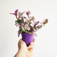 Trzykrotka 'Nanouk' (Tradescantia albiflora)