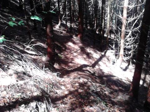skozi mlad smrekov gozd