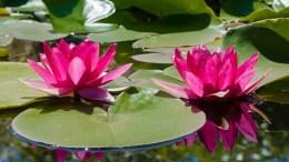 Aquatic plants for your garden 6