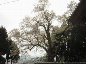 鐘楼とエドヒガン桜