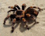 tarantula, gambar labah-labah tarantula, labah-labah tarantula,