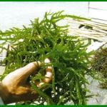 Manfaat rumput laut, sejarahnya