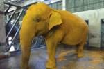 gajah kunyit, gajah dikunyitkan,