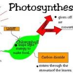 Maksud Fotosintesis, dan prosesnya bagaimana