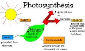 fotosintesis,
