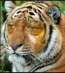 harimau menangis