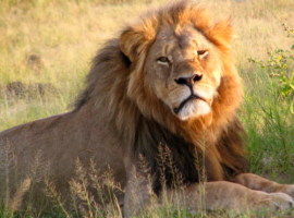 Opinion: In Zimbabwe, We Don't Cry for Lions