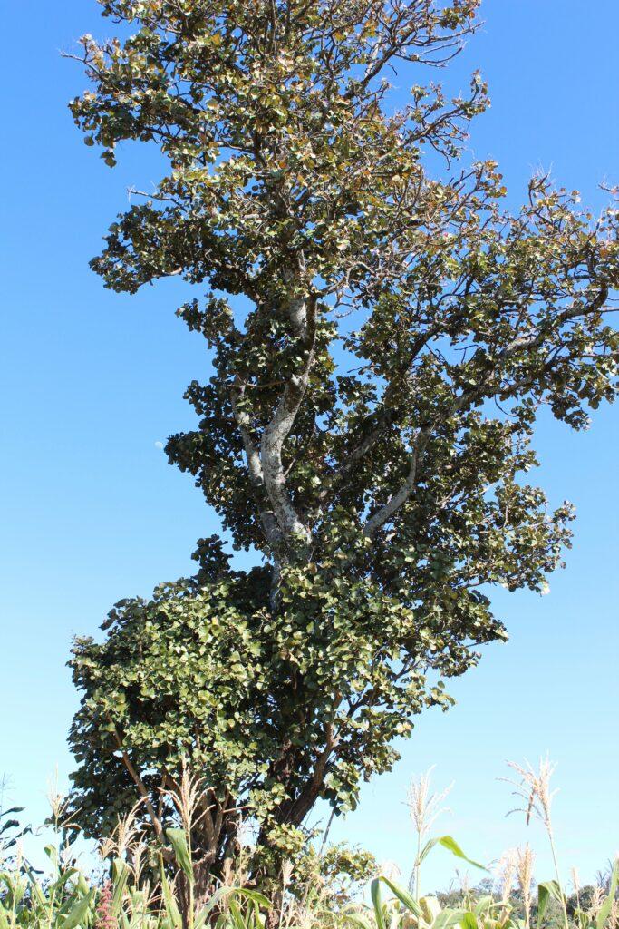 mutiti tree