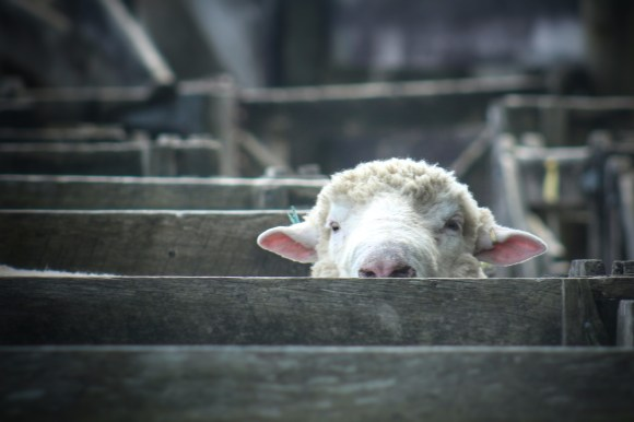 """""""Ready for my close-up"""" Sheep awaiting judging at Helensville A&P Show, NZ. Image: Su Leslie, 2017"""