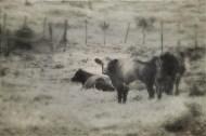 Grazing livestock, Taranaki, NZ. Image: Su Leslie, 2017