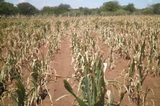 Drought ravages Chivi district