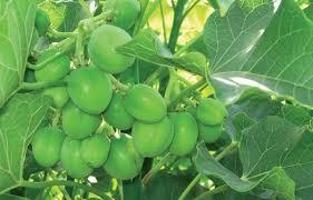 56 pupils eat jatropha fruits, hospitalised