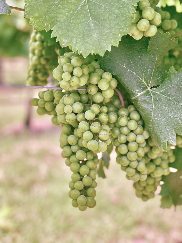 Weintrauben am Weinstock