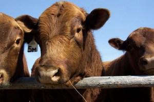 beter geen kinderen vleesconsumptie koeien