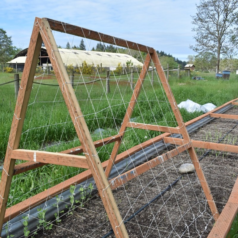 A-Frame Trellis – DIY –  For Peas and… Cucumbers?