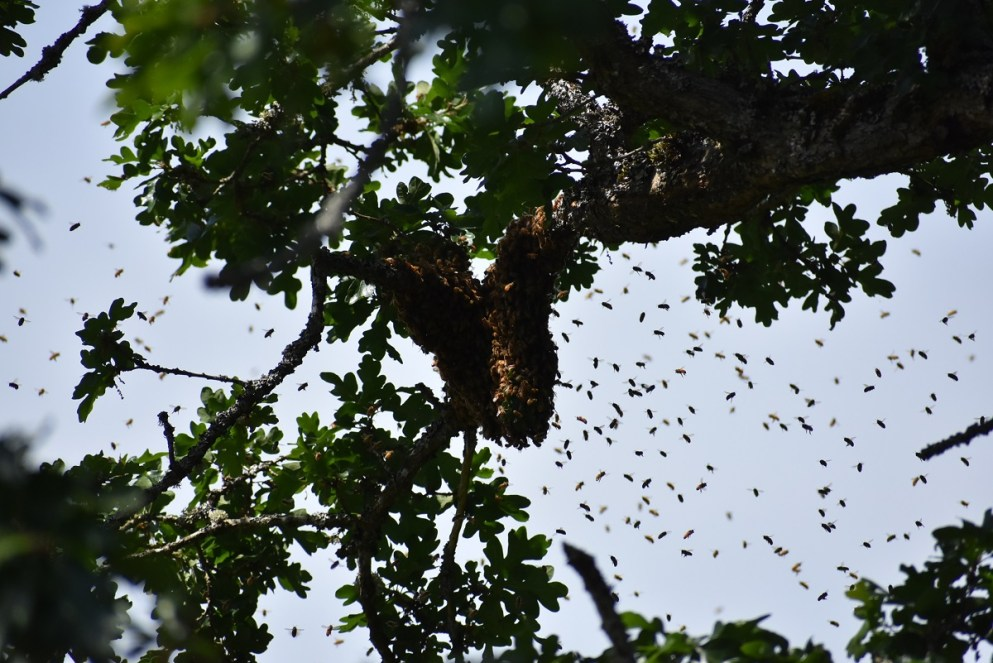 Oh No, my Bees Swarmed