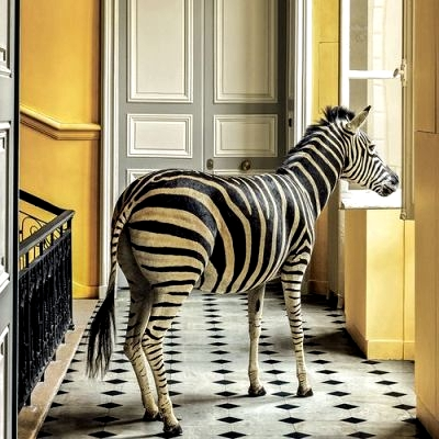 Zebra taxidermy looking out window of Deyrolle Paris France