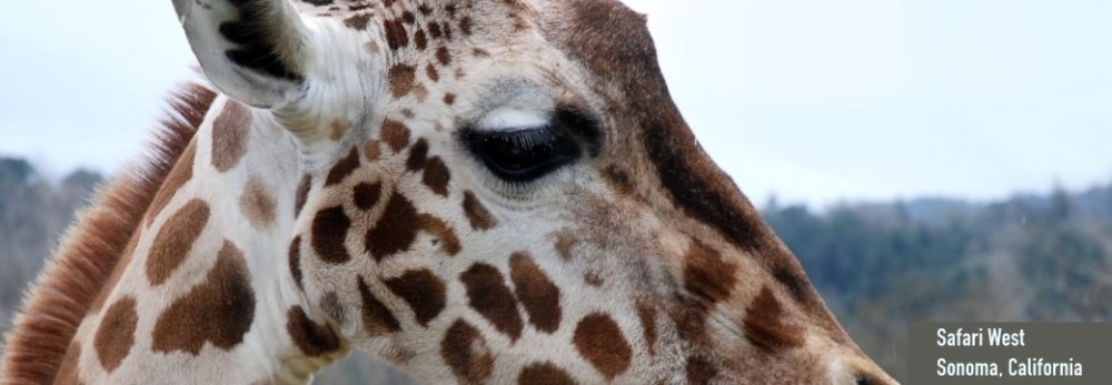 giraffe-safari-west-sonoma-california-zippertravel-no-regrets-tour-2016