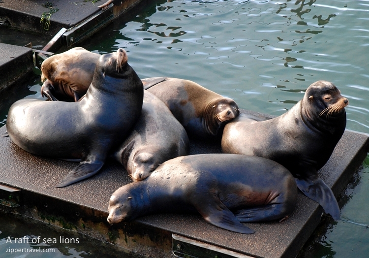 raft california sea lions newport oregon