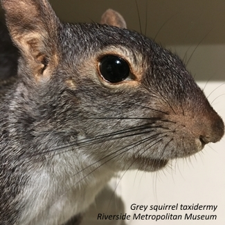 Grey Squirrel taxidermy Riverside Metropolitan Museum Riverside California