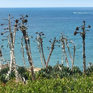 agave flowers Cabrillo National Monumnet